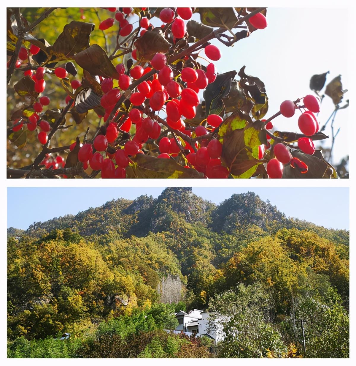 茱萸红、银杏黄直播对焦伏牛山,领略仲景宛西药材基地深秋之美